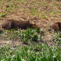 Lazy Capybaras on the road to Porto Jofre, the end of the Transpantaneira