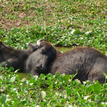 Also the Buffalos are lazy in the midday heat