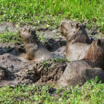 That's cool - Capybaras enjoying the mud