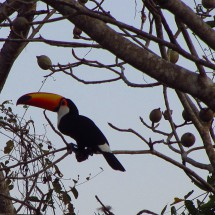 Toucan in the early morning