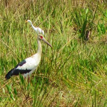 Another kind of Stork