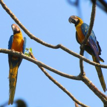 Two Macaws observing Lagoa das Araras