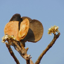 Strange fruits and flowers of a tree
