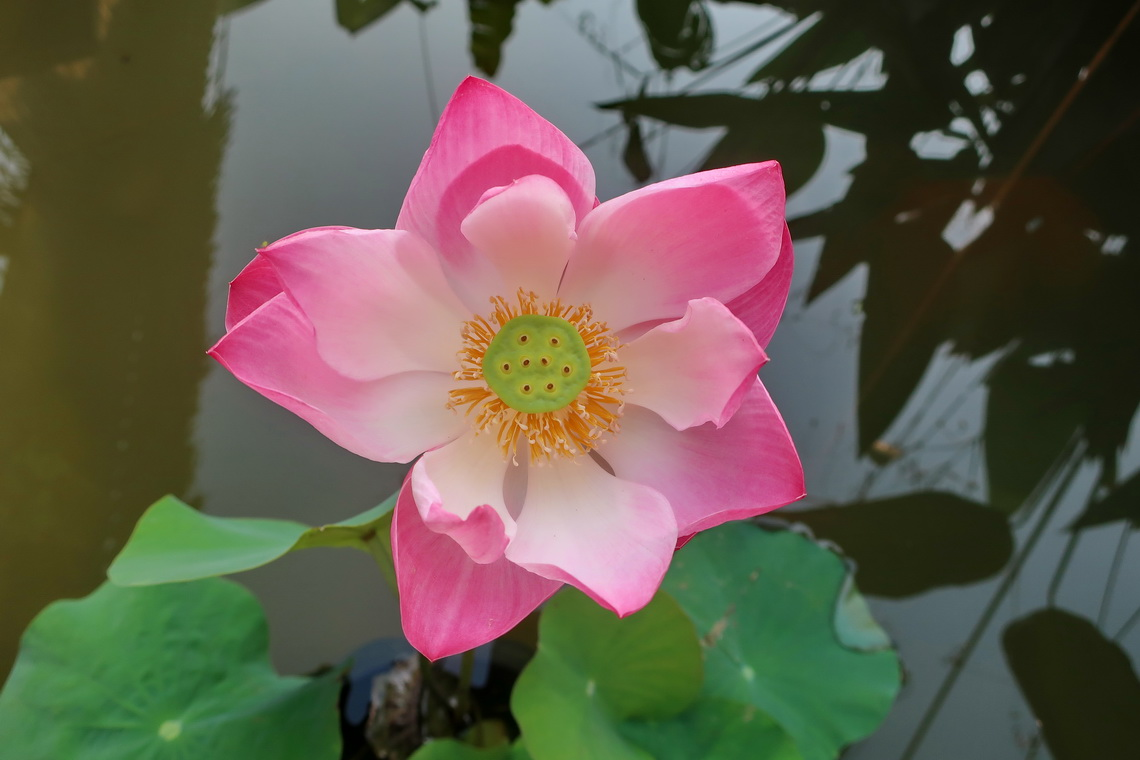 Lotus flower in the garden of our hotel in Otres - Sok Sabay Resort