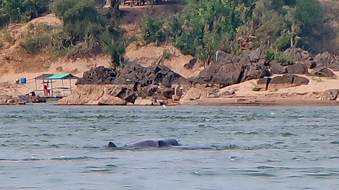 Two Irrawaddy Dolphins