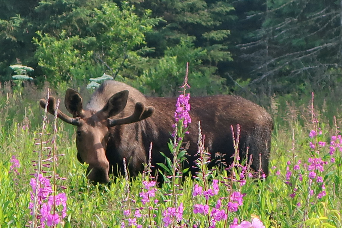 Moose with pink fire weed