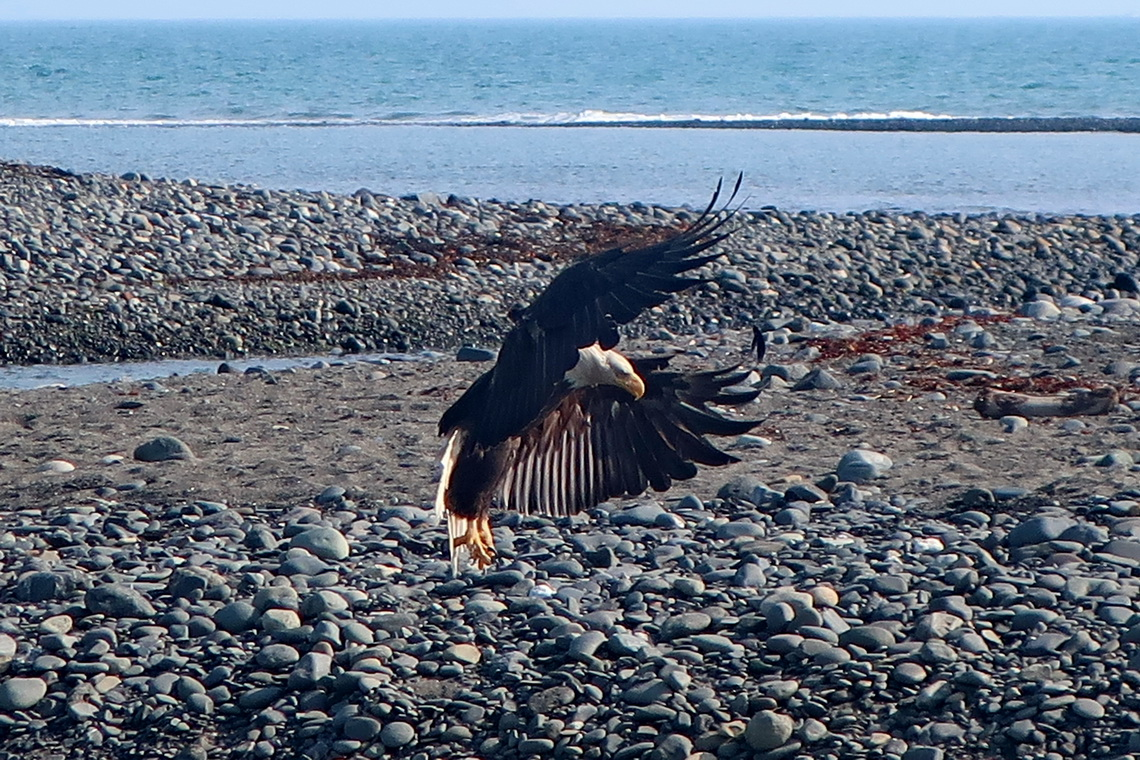 Landing Bald Eagle on Bishop's Beach