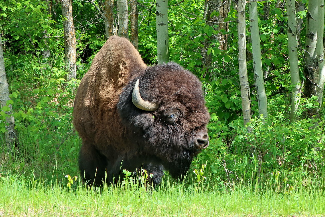 Plains Bison in Elk Island National Park