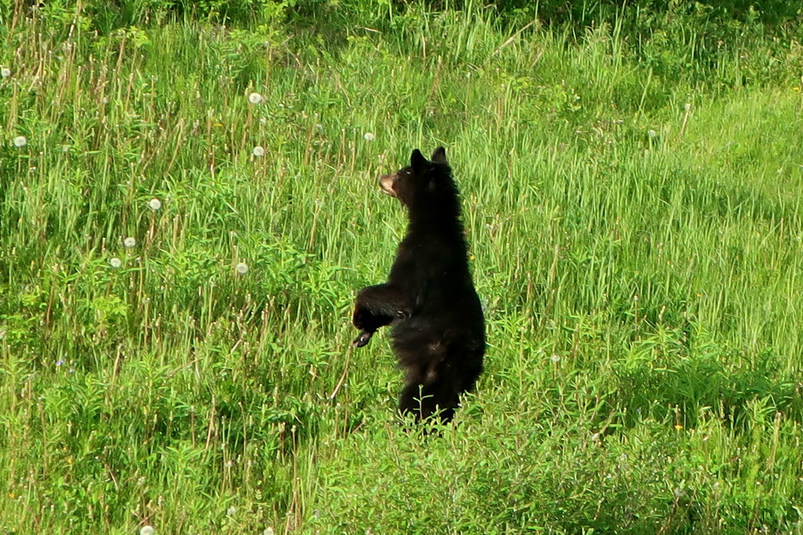 Young Black Bear on Alaska Highway close to Loon Lake