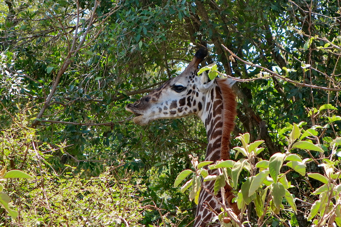 Giraffe in the trees