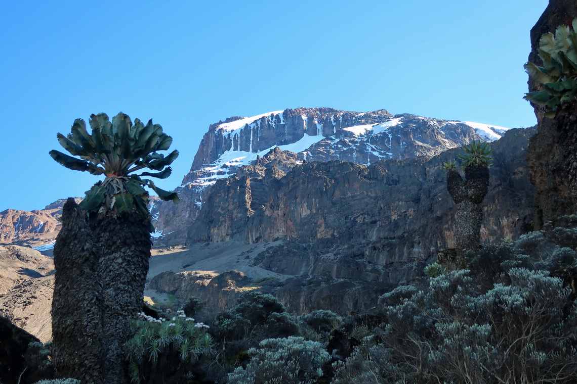 Kilimanjaro with a a Giant Groundsel close to Baranco Camp