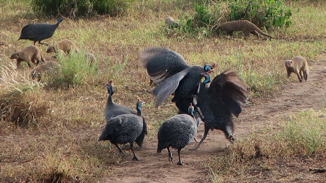 Fighting Gineafowls with Banded Mongooses in the back