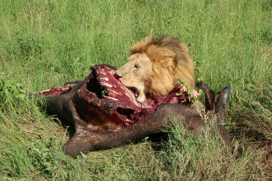 Lion taking breakfast  - a Buffalo