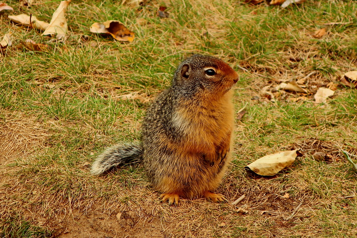 Ground Squirrel on Blue River rest area