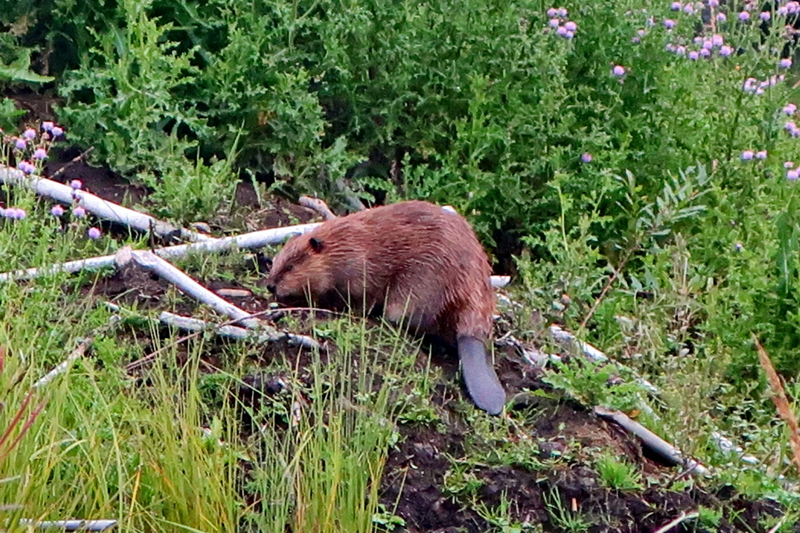 Beaver, which is one of the official symbol of Canada