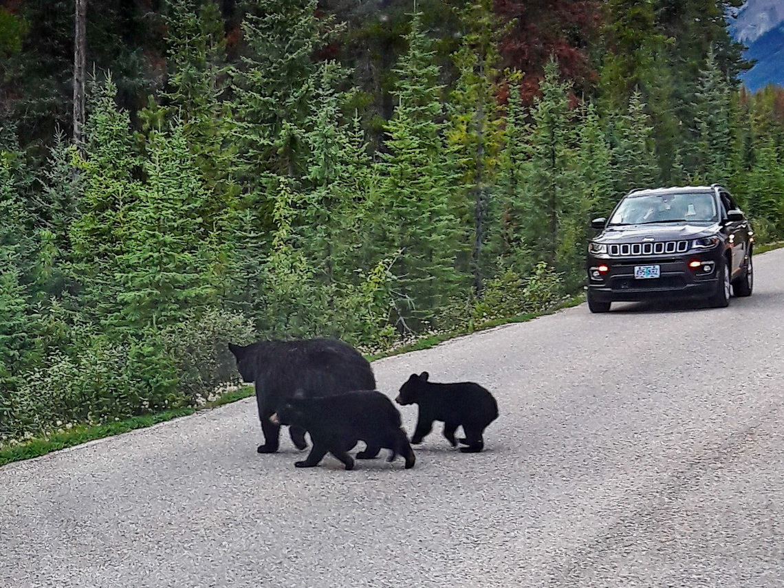 Black Bear Sow with two cubs crossing the street to Maligne Lake - Kuba shot this picture