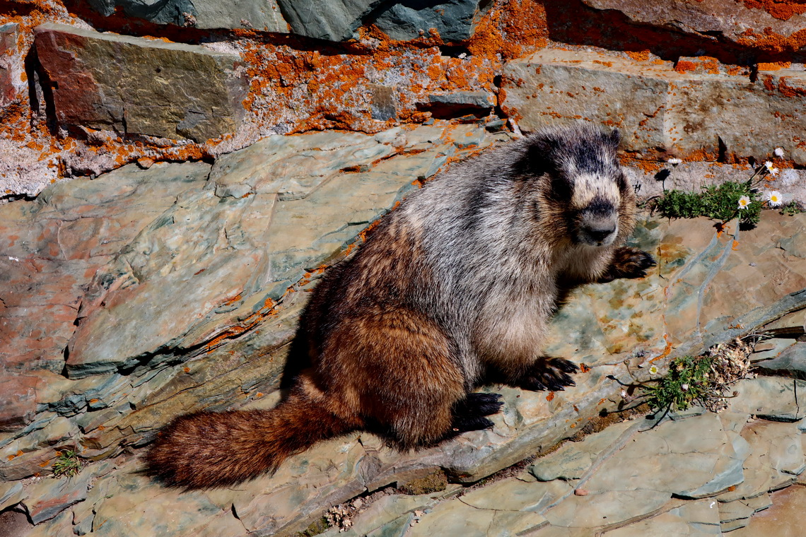 Hoary Marmot on the summit