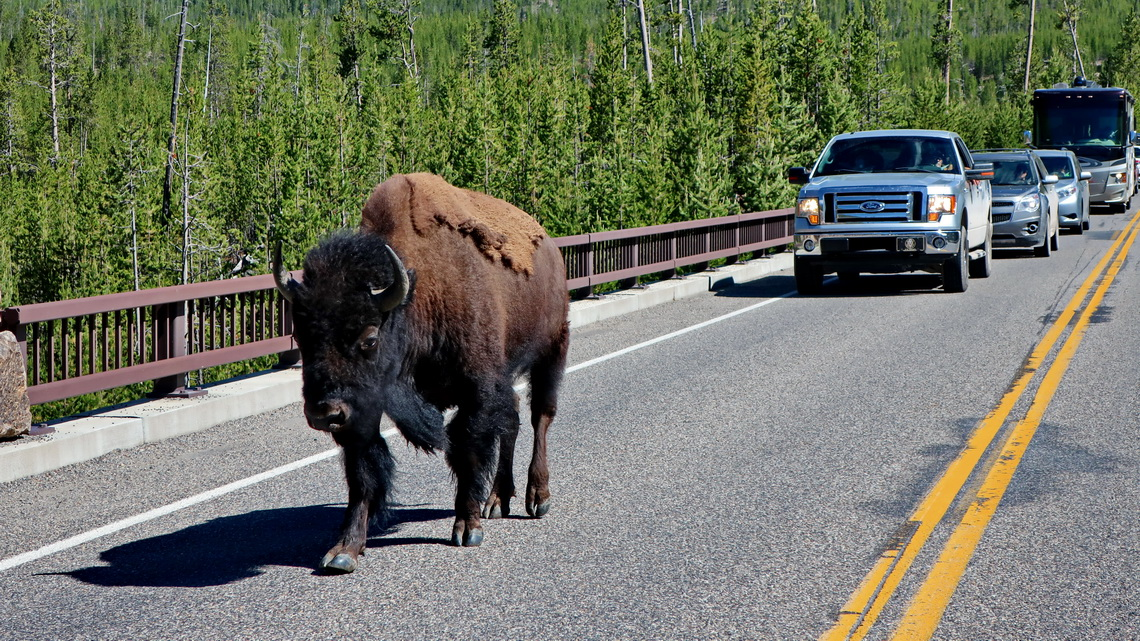 Bison on the street