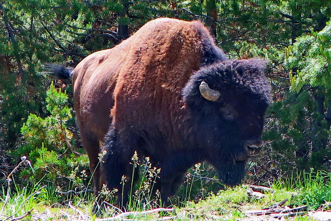 Bison on the path from the Norris campground to the Norris Geyser Basin