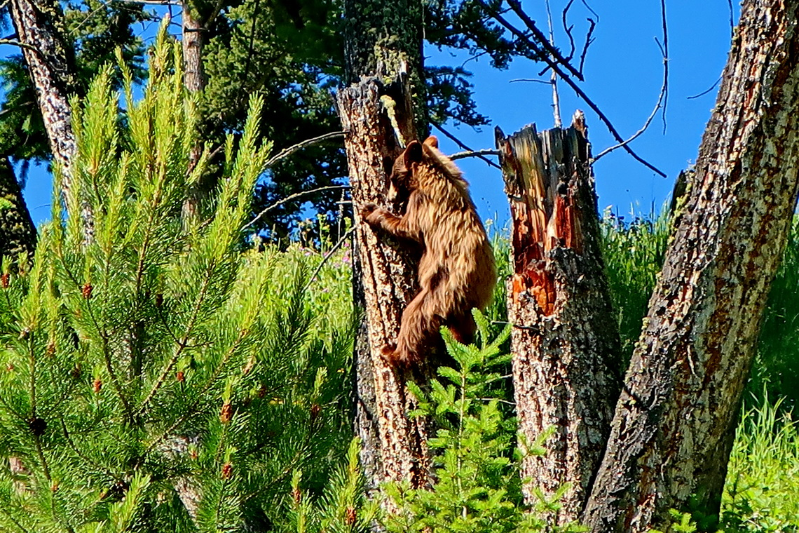 Little brown Black Bear climbing on a tree trunk