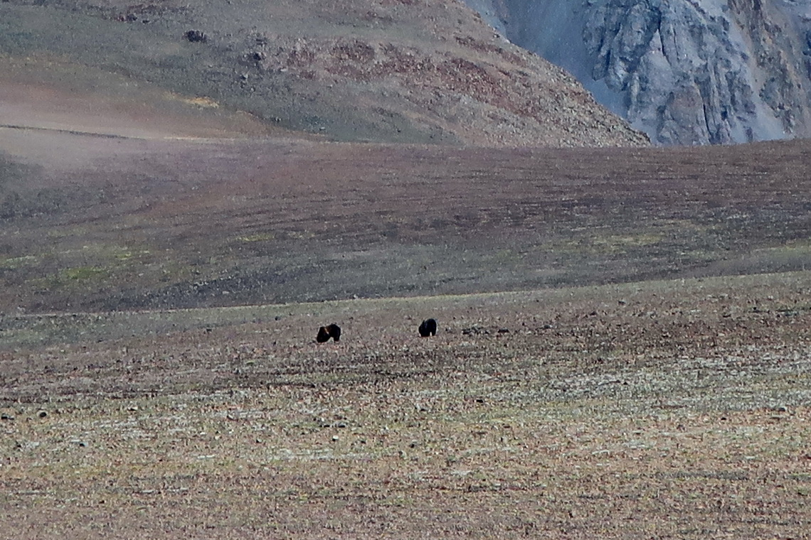 Two of the six Grizzlies on the meadow