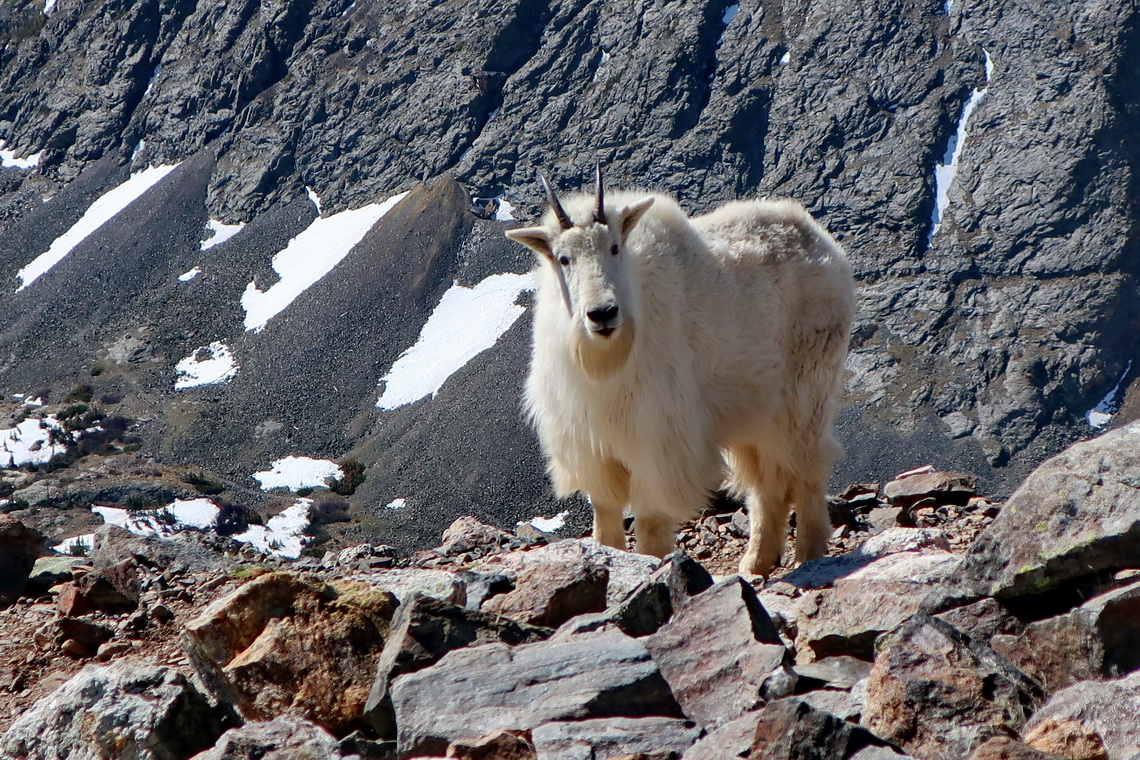 Mountain Goat on the way to Quandary Peak