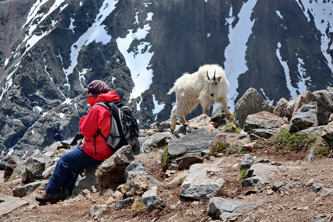 Very bold these Mountain Goats!