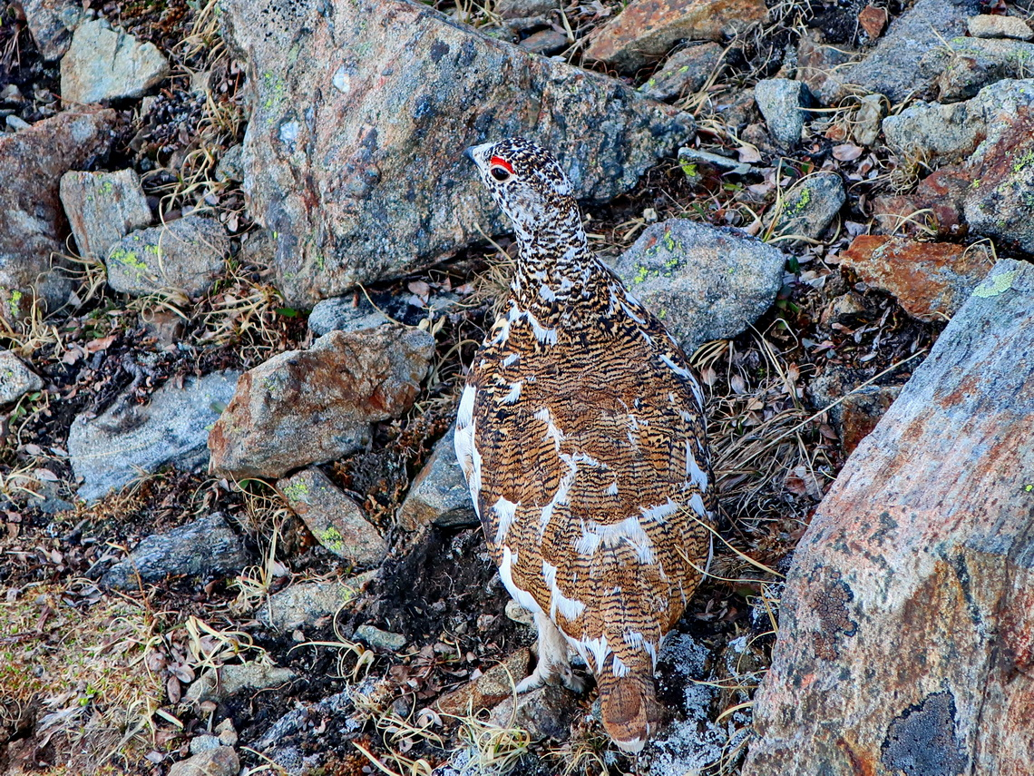 Male Grouse Lek in the Chihuahua Gulch