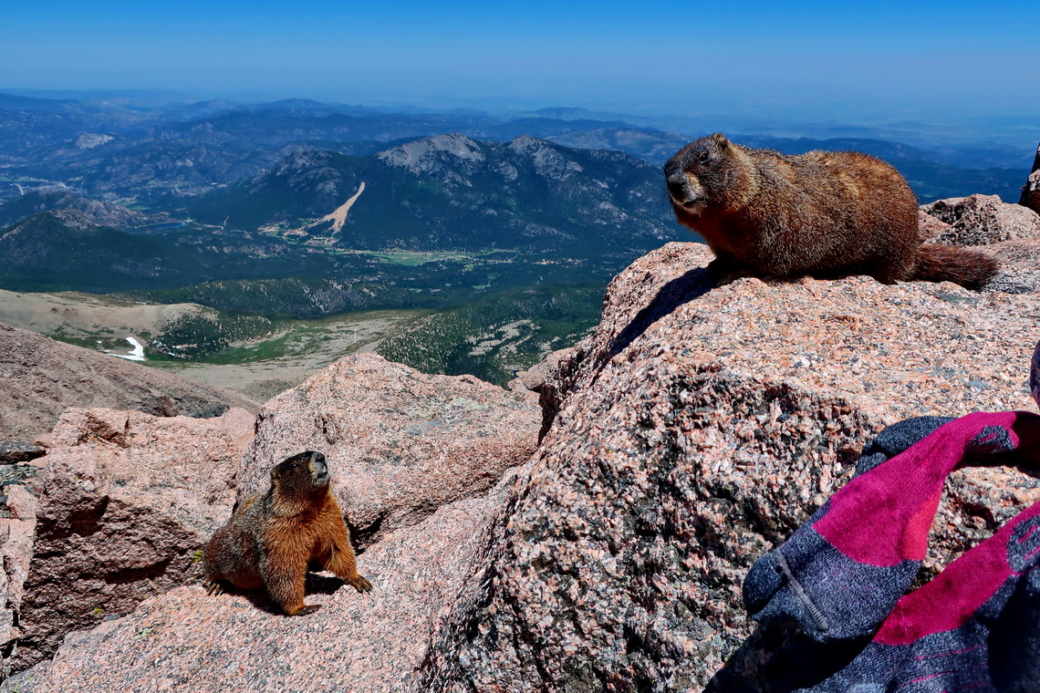 The Marmots were checking Alfred's socks on top of Longs Peak - very smelly!