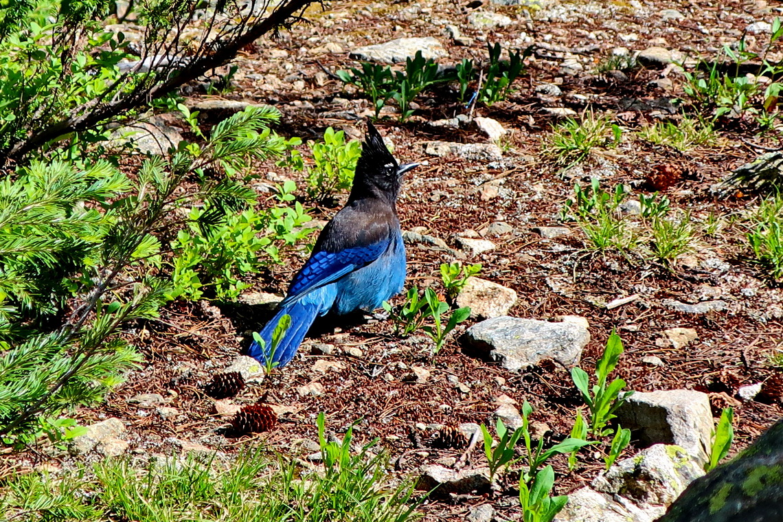 Blue-black bird on the side trail between Dream and Nymph Lakes
