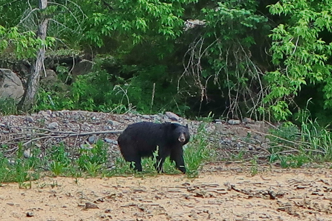 Our first Black Bear seen in wilderness from the street between Estes Park and Loveland