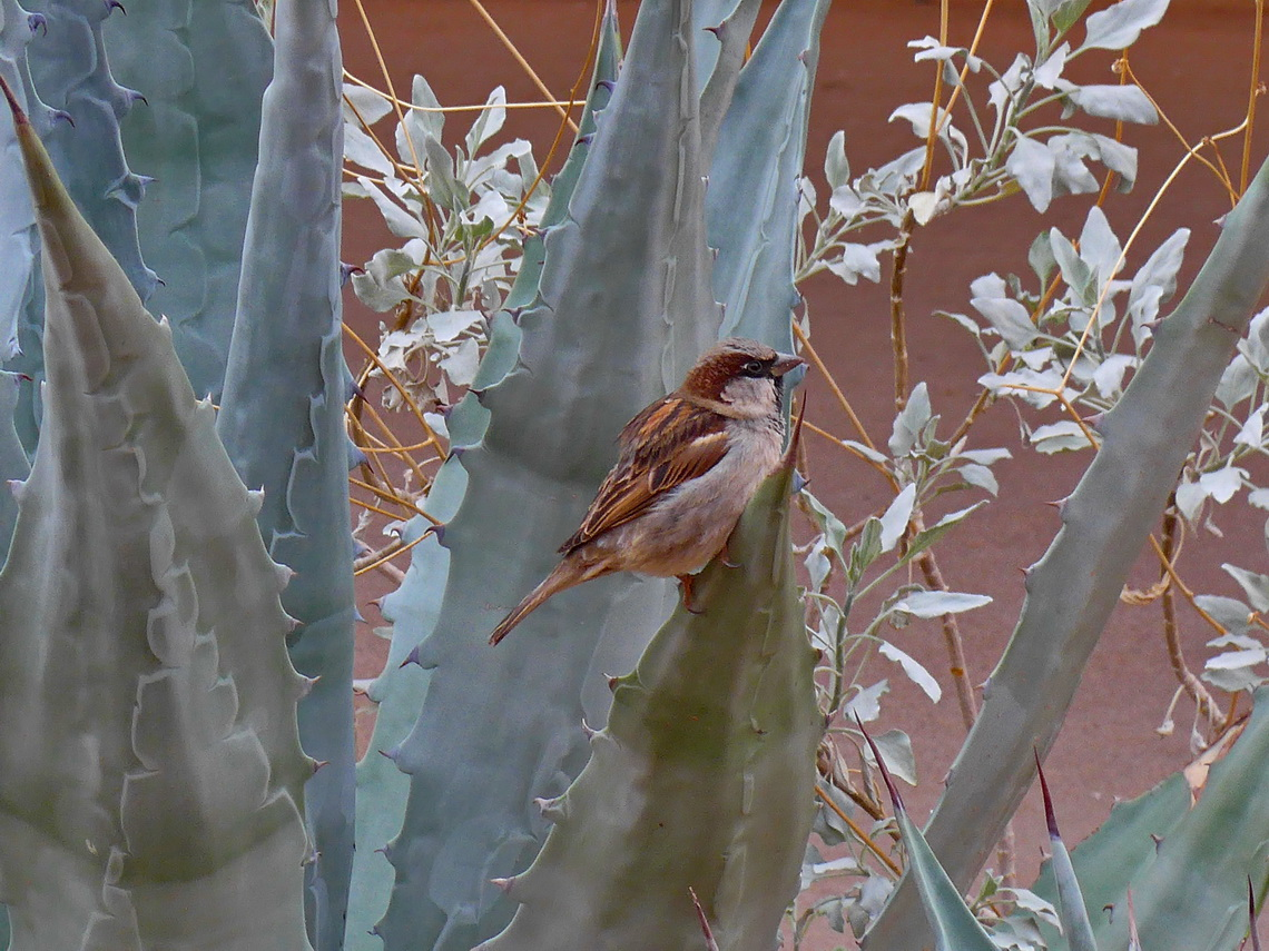 Little bird in a huge agave