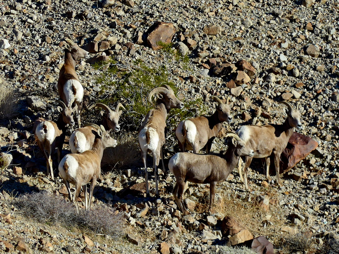 Bighorn Sheep seen on the way to Lookout Kingman Wash