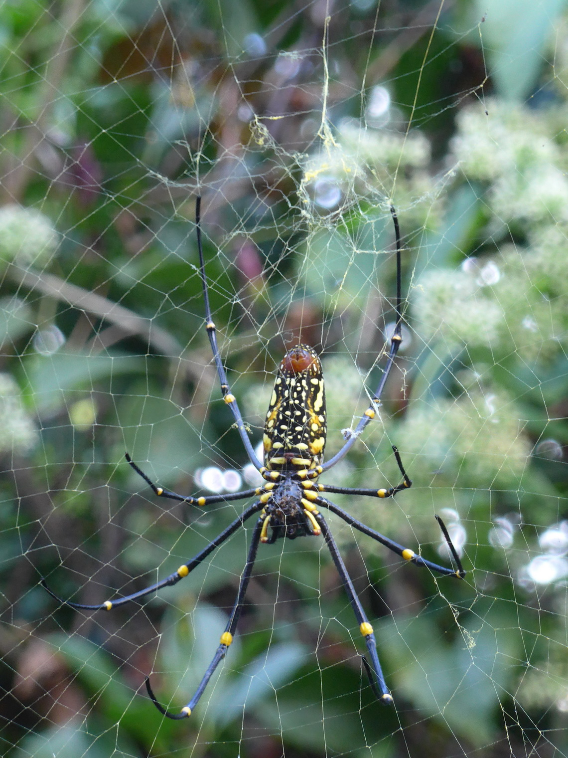Huge Spider in Chiang Dao