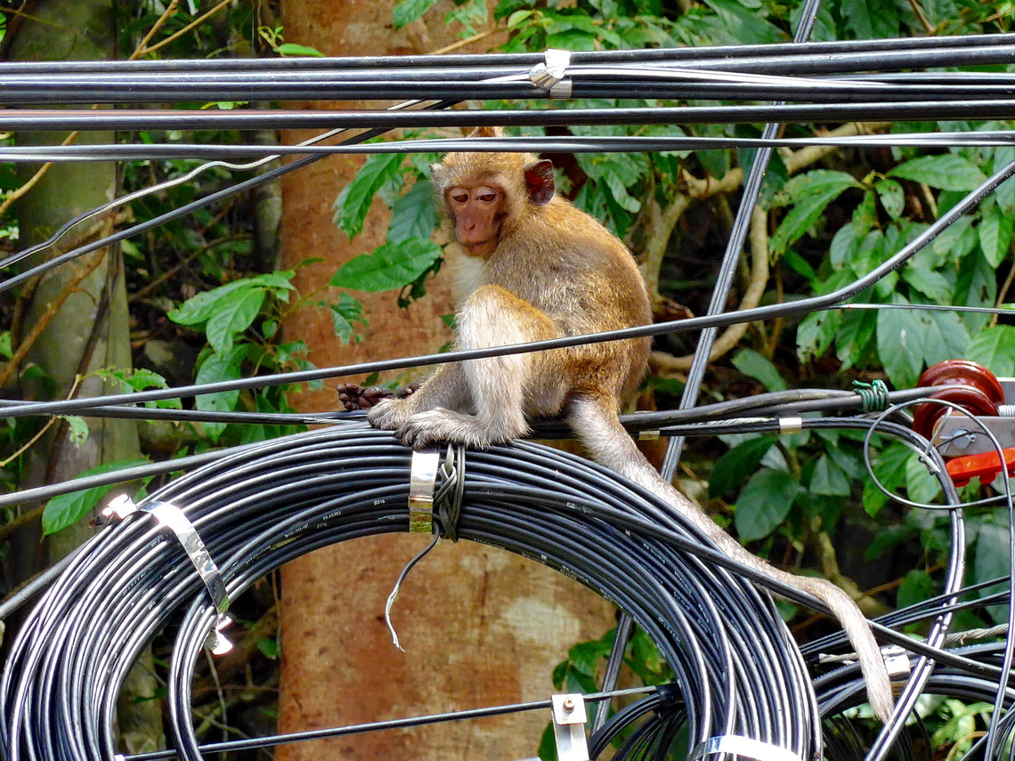 Electrician - a dangerous job for a monkey?
