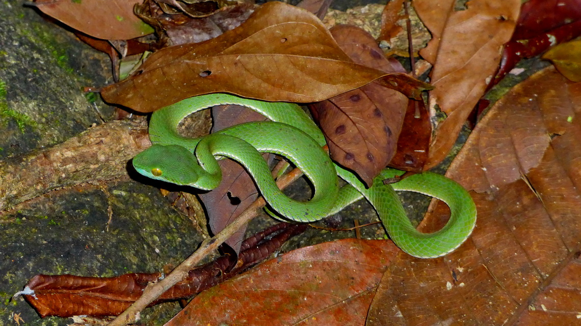Venomous Big-eyed Pit-viper in the jungle of Koh Chang