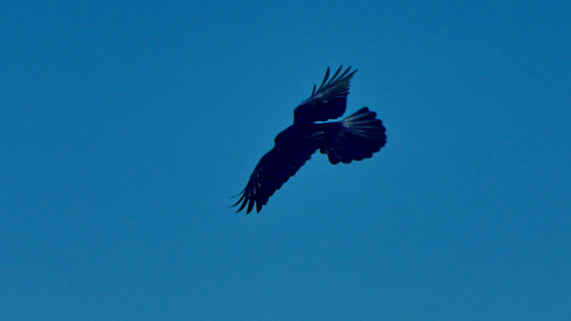 Eagle above Sierra Blanca