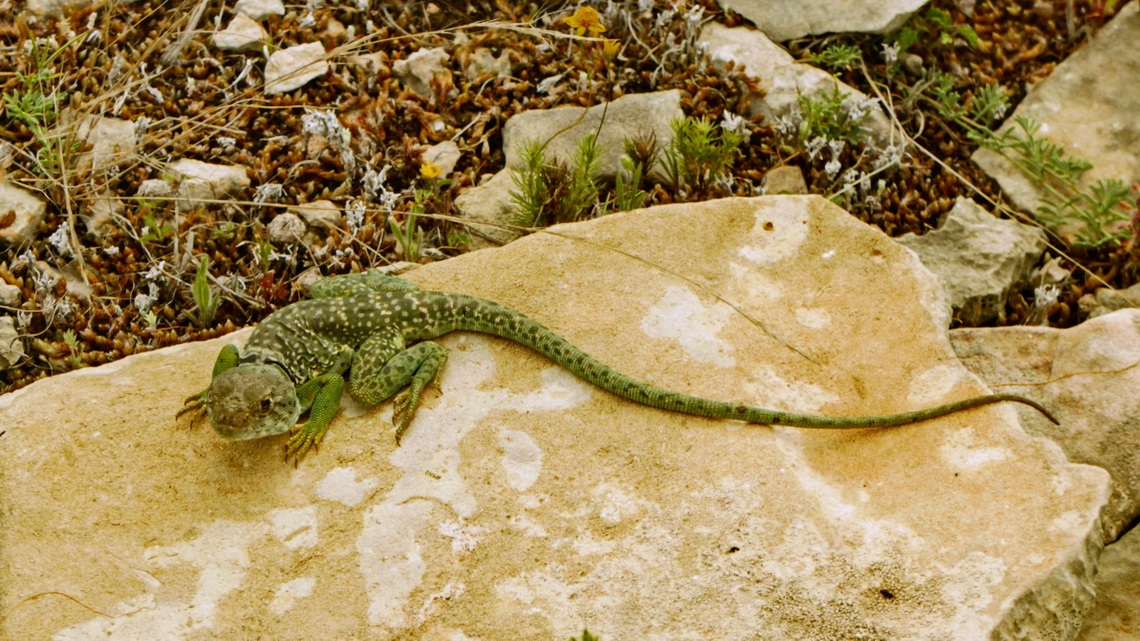 Strange Lizard on the rim of Seminole Canyon