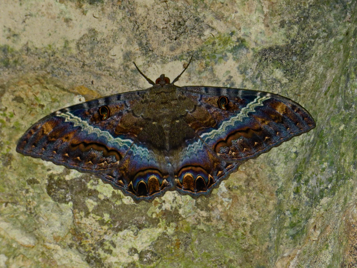 Life in the ruins - Moth with more than 10 centimeters spread