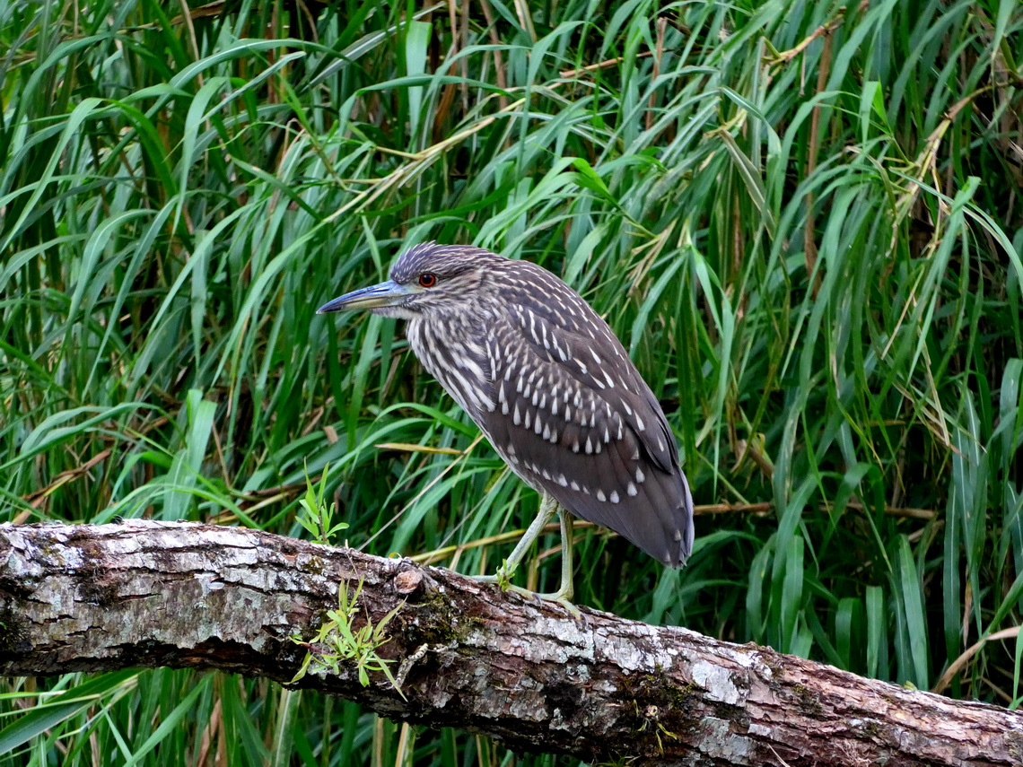 Young Bare-throated Tiger Heron
