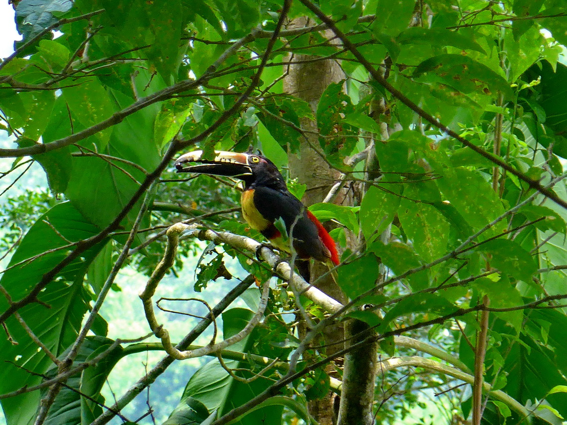 Toucan on shore of Rio Cangrejal
