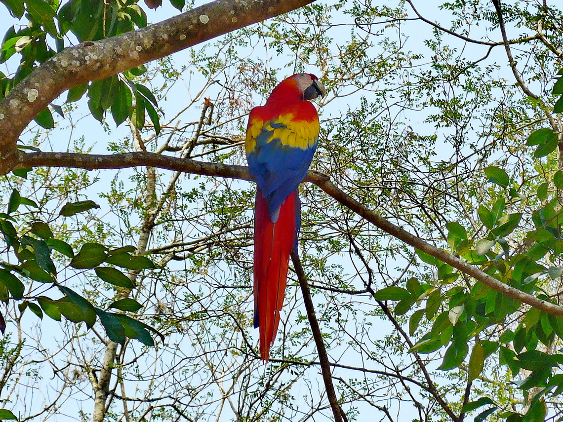 There are living a lot of real Scarlet Macaws in Copan