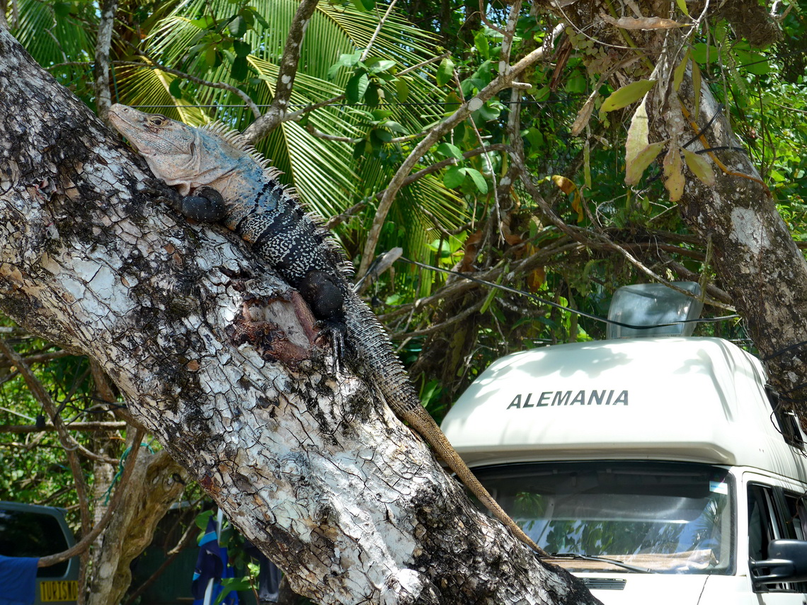 Huge Iguana in front of us