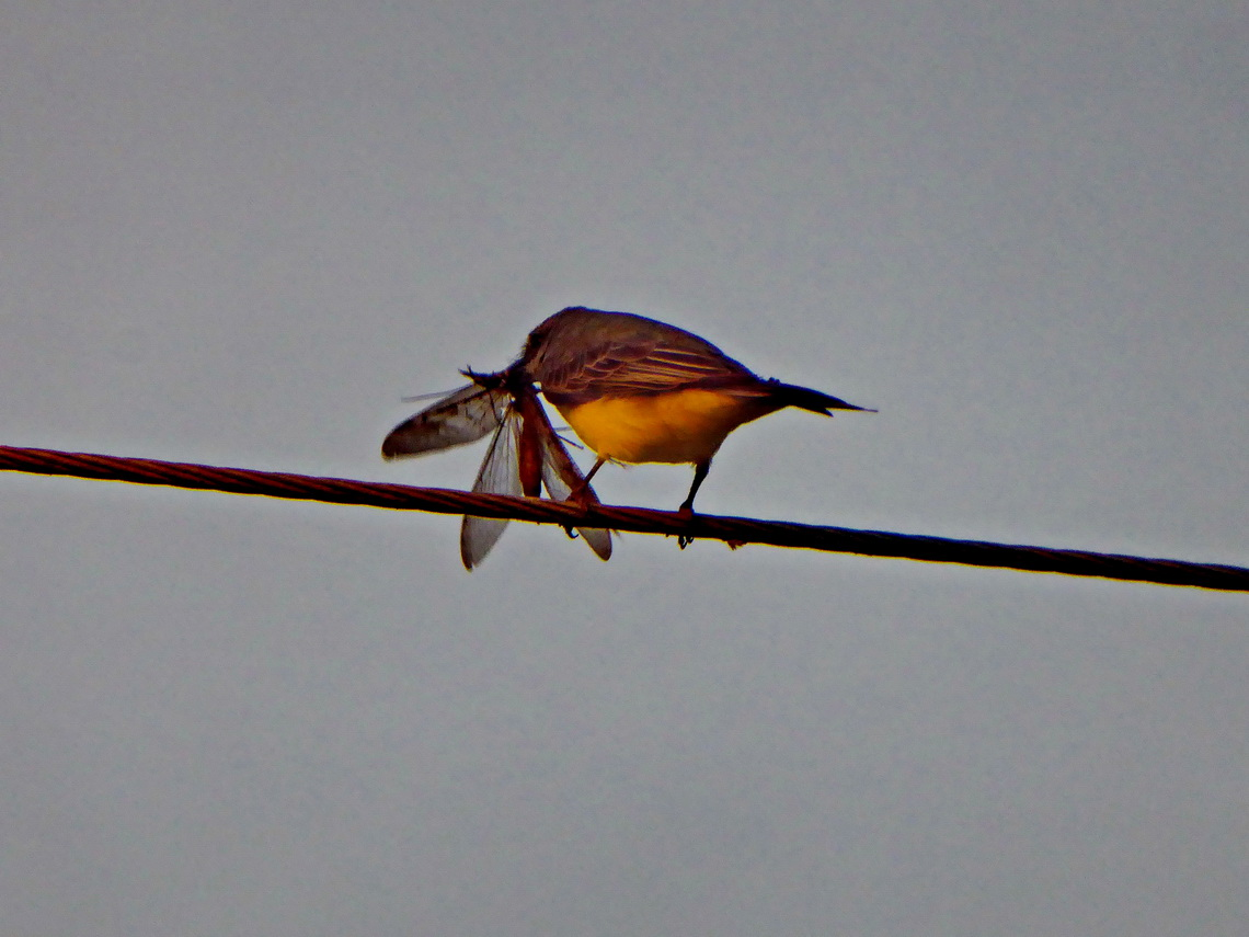 Little bird with huge insect in the morning of Xmas 2014