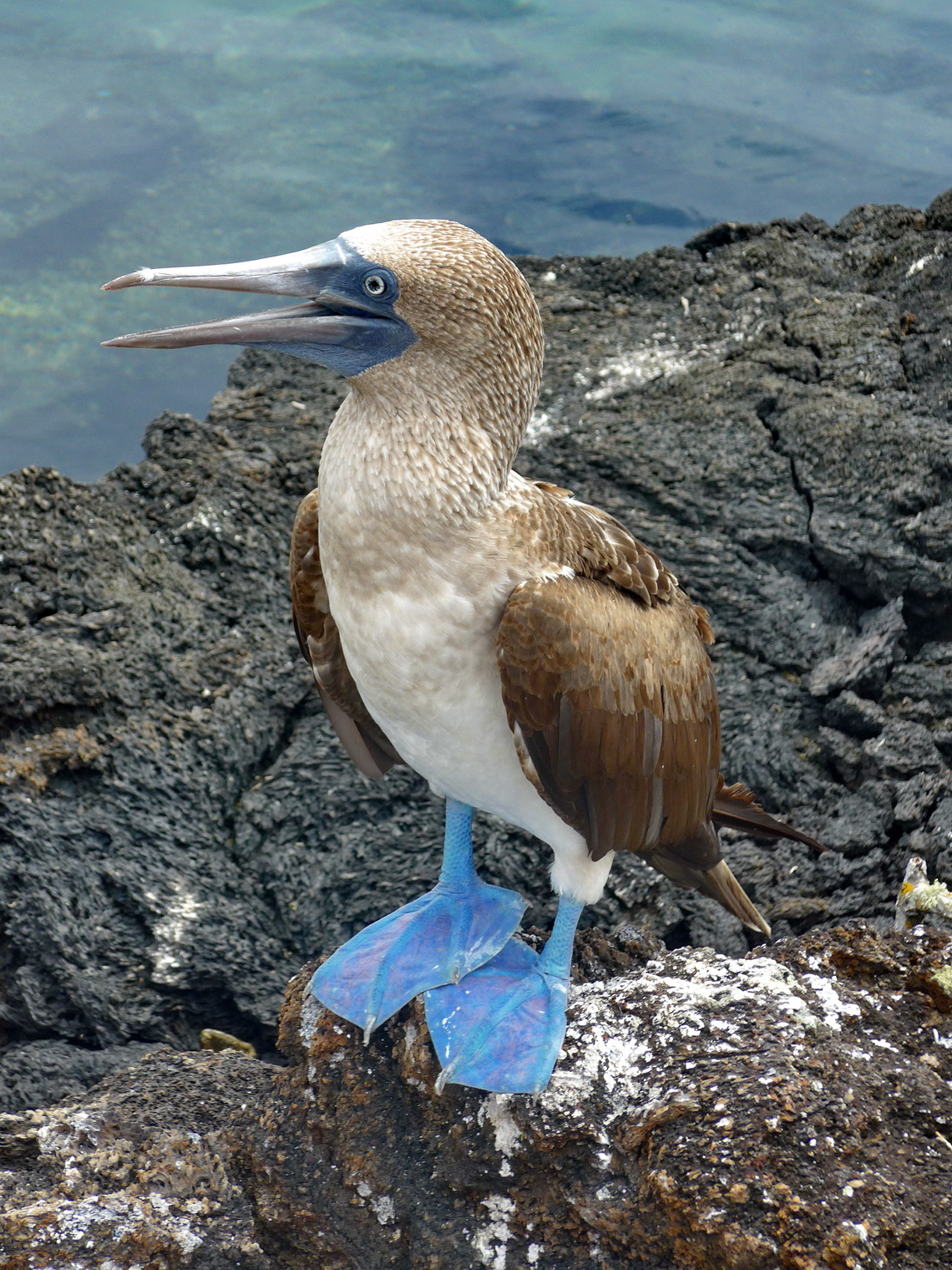Blue-footed booby on Isla Isabela