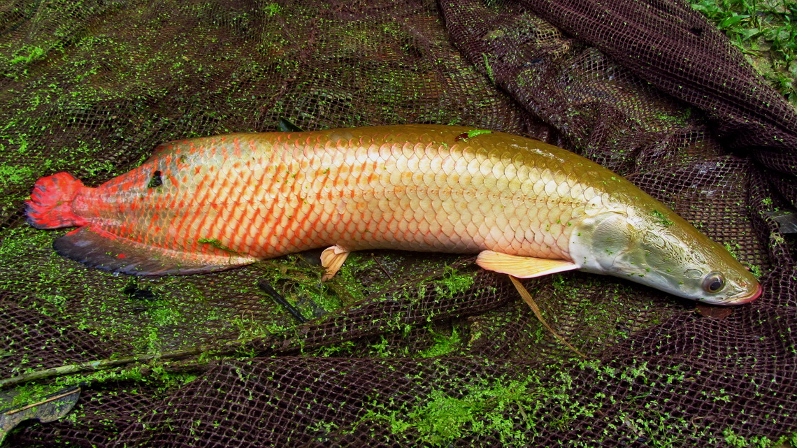 Baby arapaima, approximately 1 meter big
