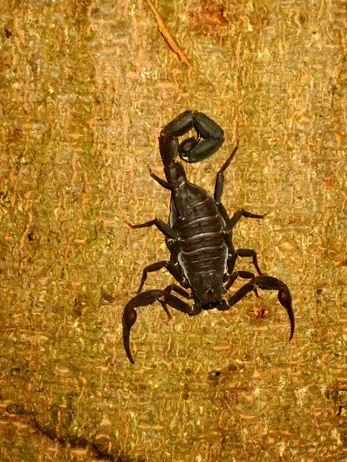 Scorpion of the Amazon
