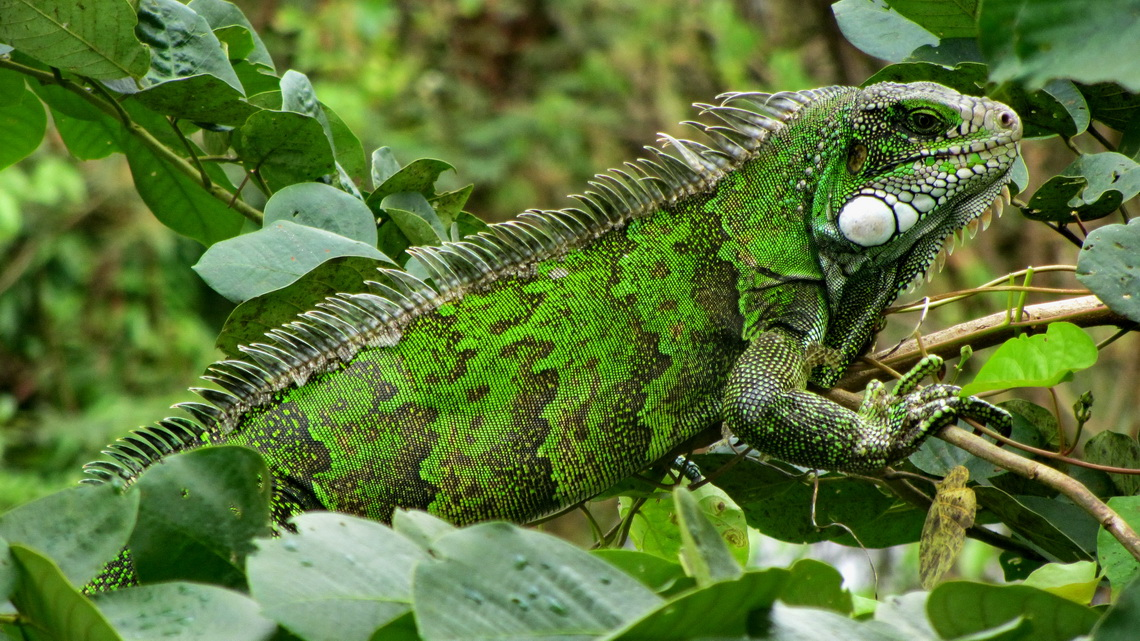Huge green iguana, more than 1.50 meters long