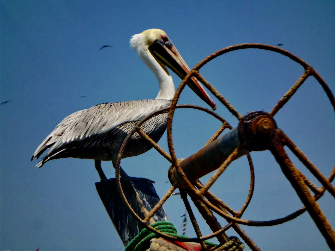 White headed Pelican in Puerto Pizarro