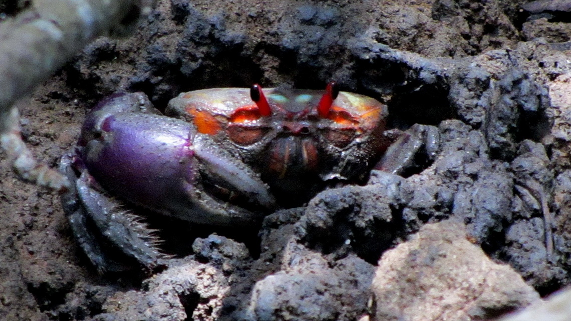 Crab with purple claw